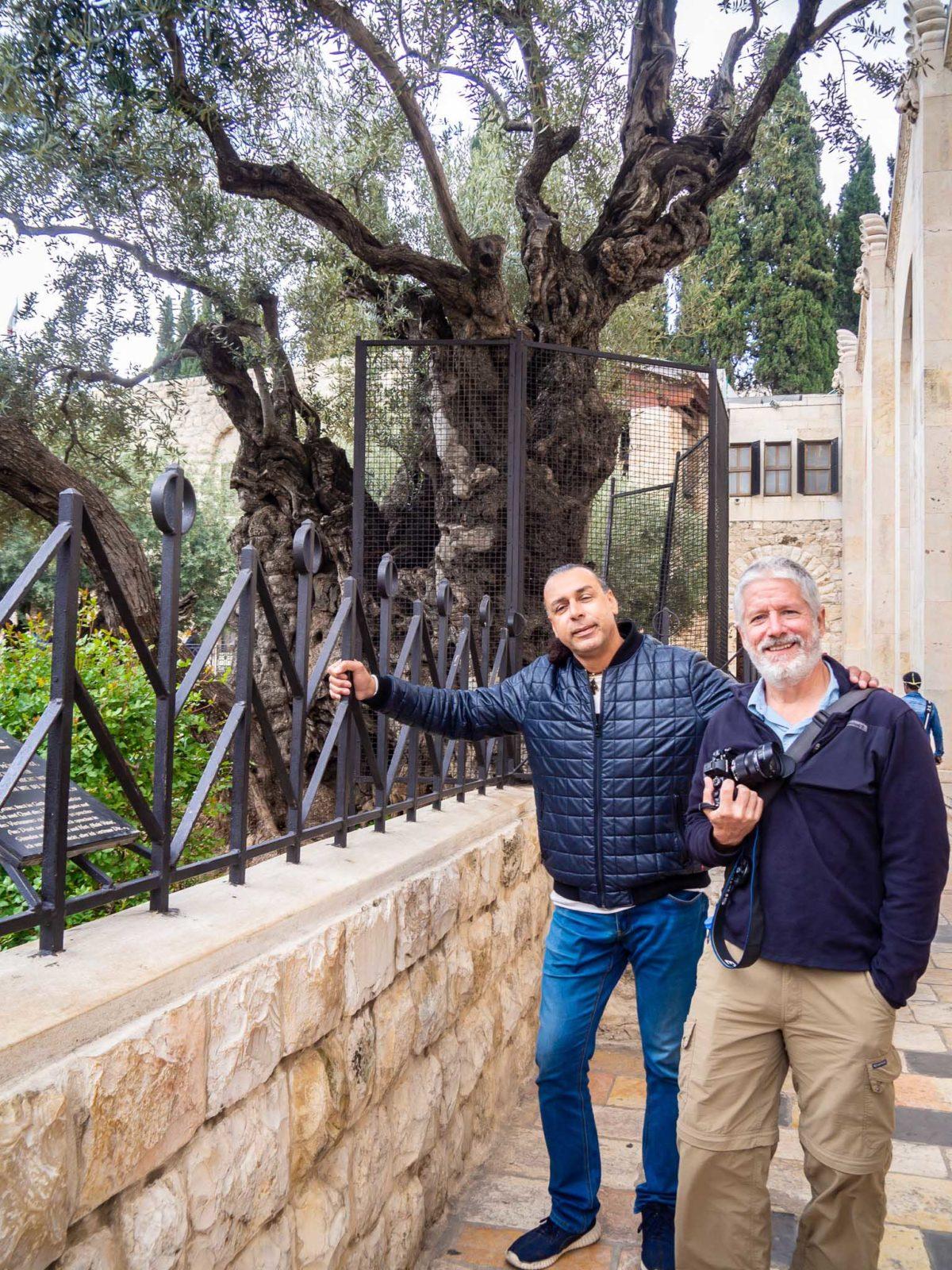 Olive tree in Gethsemane Garden