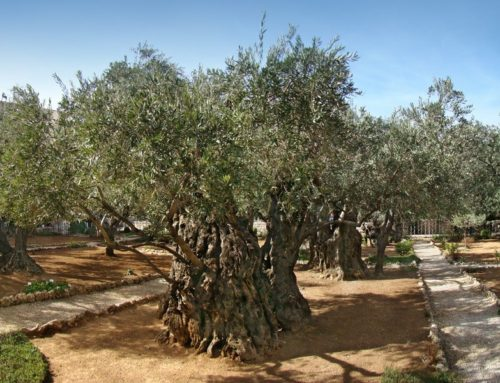 Garden of Gethsemane | Mount of Olives in Holy Land