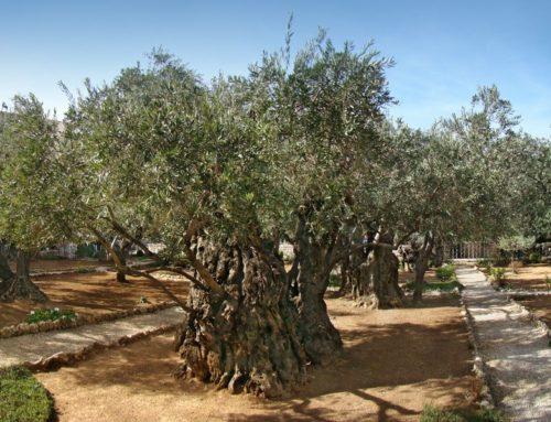 Garden of Gethsemane | Mount of Olives in Holy Land